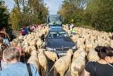REDYK w Szczawnicy. Miasto zablokowane, auta utknęły wśród setek owiec. To już tradycja! [ZDJĘCIA] 11.10.2020