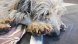 OTOZ Animals Inspektorat Zielona Góra: - Psiak z niedowładem konał na polu od kilku dni. Walczymy o jego życie, pomóżcie nam [ZDJĘCIA]