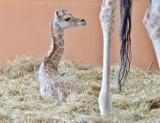 Chorzów: W zoo urodziła się żyrafa. Jakie imię dla maluszka?