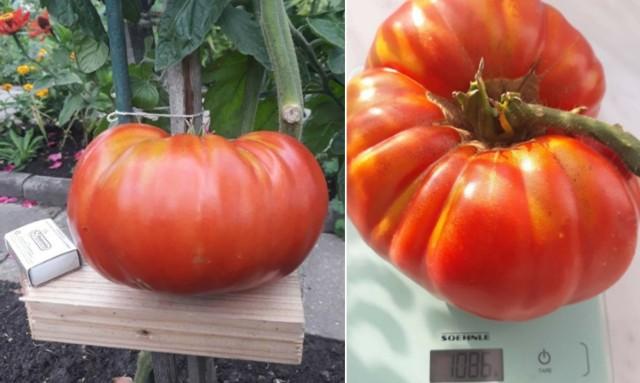 Pomidory giganty działkowiczki Tereni