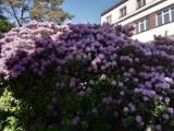 Olbrzymie rododendrony przy bytowskim szpitalu. Wiemy, kto je posadził [ZDJĘCIA]