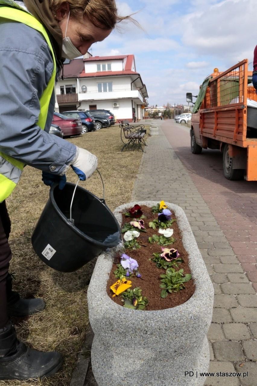 Staszów pięknieje na wiosnę. W mieście posadzono tysiąc bratków (ZDJĘCIA)
