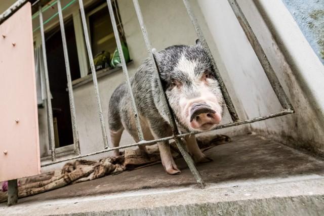 W bloku na bydgoskich Wyżynach na balkonie mieszka... świnia. Sąsiedzi alarmują spółdzielnię, spółdzielnia pisze do instytucji, ale świnia jak była, tak jest.