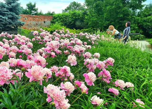 Jeśli szukacie spokojnego i pięknego miejsca na spacer i relaks, wybierzcie się do arboretum przy Zamku Tarnowskich w Tarnobrzegu. Kwietne łąki, rzadkie okazy roślin i zapach piwonii w rozkwicie urzekają odwiedzających ogrody w czerwcu.    Zobacz więcej na kolejnych slajdach >>>