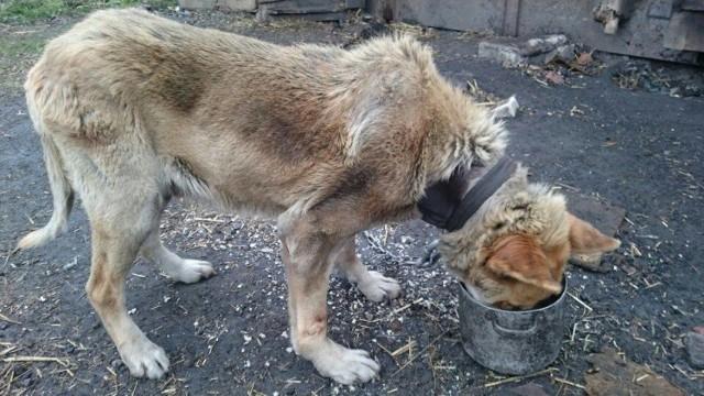 Przywiązane na krótkim łańcuchu zwierzę prawdopodobnie od wielu dni nie dostawało jedzenia ani picia