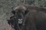 Żubry w Bieszczadach chorują na telazjozę. 15 zwierząt jest do odstrzału [ZDJĘCIA]