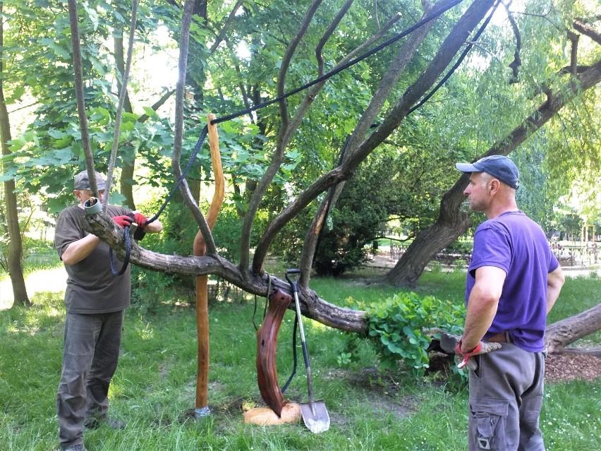Perukowiec podolski w parku w Brzegu zabezpieczony przez specjalistów