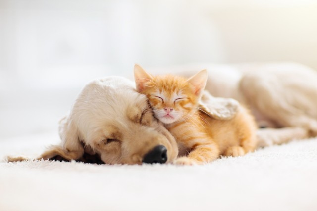 """Aby uniknąć w swoich czterech ścianach scen rodem z filmu akcji, warto wiedzieć, które rasy psów są przyjazne i świetnie """"dogadają się"""" nie tylko z opiekunem, ale ze wszystkimi domownikami, również tymi na czterech łapach. Sprawdź, które rasy psów lubią koty."""