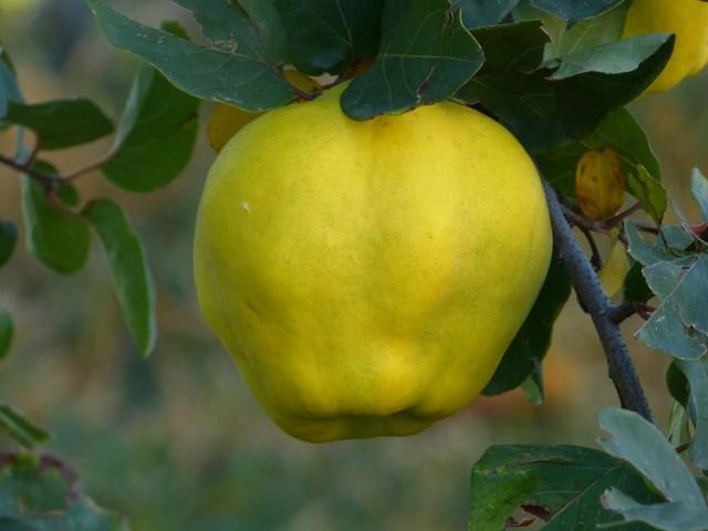 Owoce pigwy mają słoneczny żółty kolor.