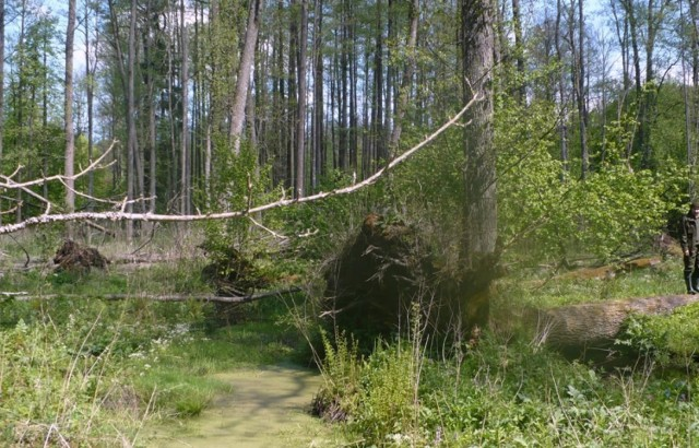 Nadleśnictwo Białowieża pod naporem ekoterrorystów