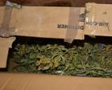 Policjanci z Krotoszyna zlikwidowali hodowlę marihuany [ZDJĘCIA]