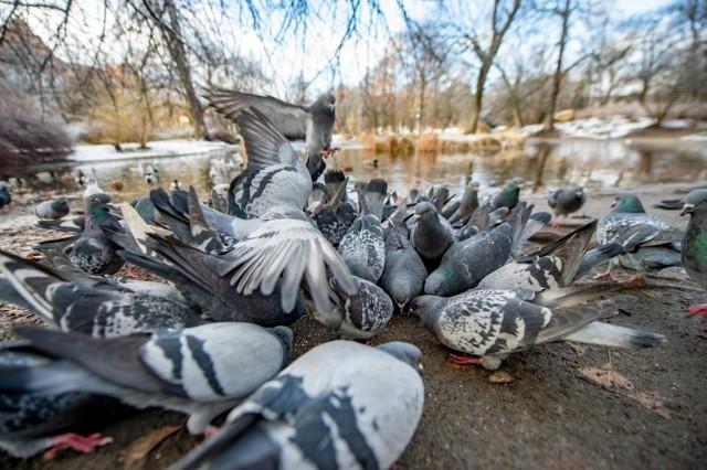 Gołębie zapamiętują miejsca, gdzie rzucane jest im jedzenie. Czy tabliczki z apelem o niedokarmianie pomogą?