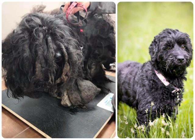 Po lewej: suczka w momencie interwencji wolontariuszy z OTOZ Animals Zielona Góra. Po prawej: Pusia po metarmofozie. Tak suczka wygląda obecnie.