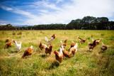 Sieć Carrefour Polska doceniona przez stowarzyszenie Otwarte Klatki. Sieć zrezygnowała ze sprzedaży jaj z chowu klatkowego
