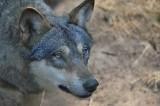 Atak wilków w Szymbarku.W nocy z soboty na niedzielę zagryzły we wsi trzy psy. Uwaga, drastyczne [ZDJĘCIA]!