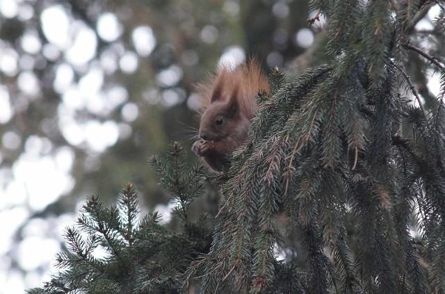 Podczas świątecznego spaceru w Solankach towarzyszą nam obecnie wiewiórki, sikorki, kosy, gołębie, mewy, kaczki. Zdarzy się, że drogę przebiegnie szara... mysz. Jednak nie ma co przed nią uciekać. Lepiej zostawić jej na lejce jakiś przysmaczek