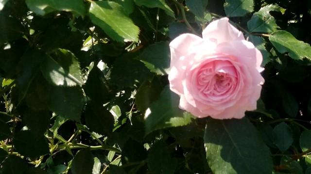 W Ogrodzie Róż w Forst posadzonych jest 45 tysięcy różanych krzewów. Ogród zajmuje 17 tys. ha. Co roku pod koniec czerwca odbywają się tam Dni Świąteczne Ogrodu Różanego. W 2019 roku obchodzone są od 28 do 30 czerwca.