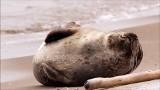 Foka celebrytka na plażach Mierzei Wiślanej. Obiektyw ją kocha, a ona uwielbia się fotografować [zdjęcia]