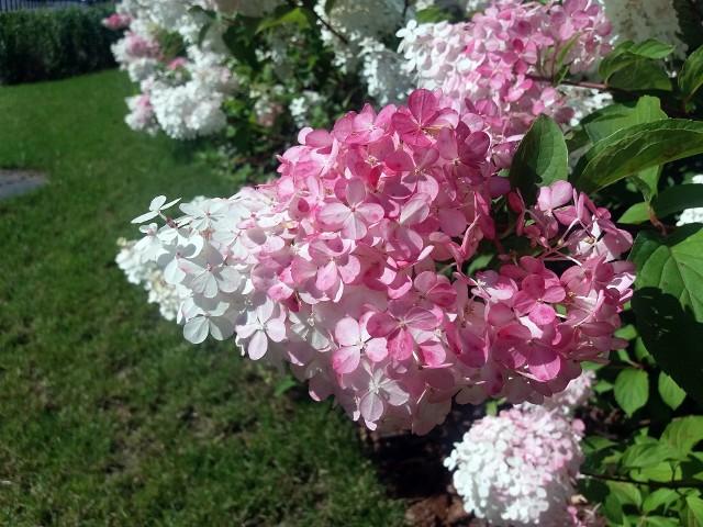 Hortensje bukietowe kwitną pięknie i obficie, a niektóre ciekawie zmieniają kolor kwiatów. Są mniej kapryśne niż hortensje ogrodowe.