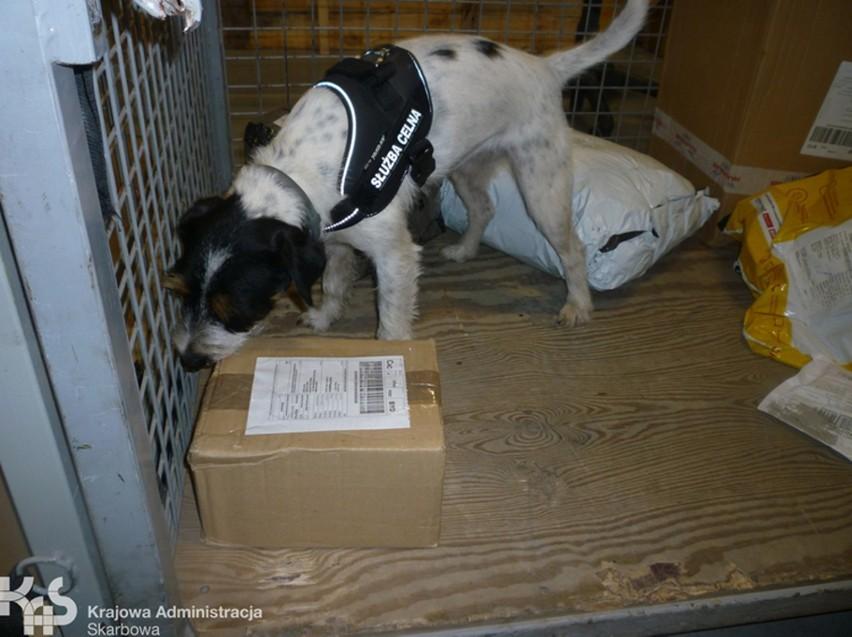 """""""Psi patrol"""" z Kujaw i Pomorza sprawdza przesyłki. Zwęszył nielegalny tytoń"""