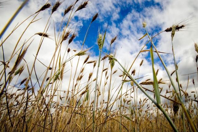 W woj. podlaskim pomoc suszową z puli de minimis ma otrzymać prawie 9 tys. rolników