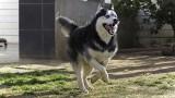 Podlesie Wysokie: Pies rasy husky ugryzł 13-latka. Chłopiec trafił do szpitala