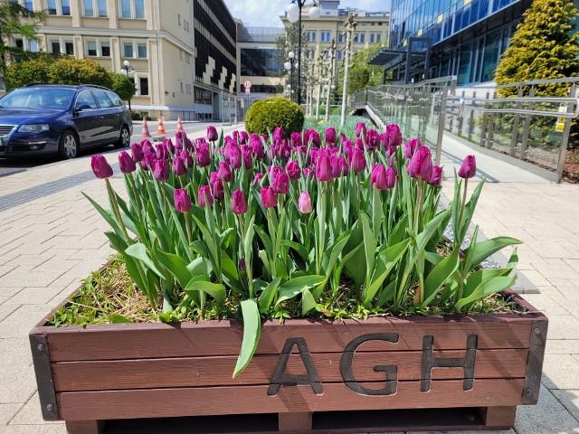 Tulipany i inna roślinność na kampusie AGH w Krakowie