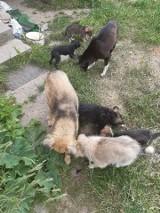 Zapuszczone gospodarstwo w powiecie koneckim i... 21 zaniedbanych psów. Zwierzaki szukają nowego domu (ZDJĘCIA)
