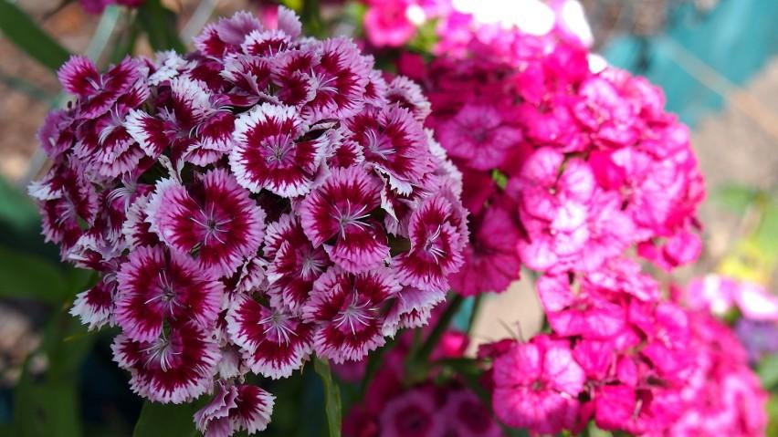 Goździki warto mieć w ogrodzie - kwitną długą, pięknie pachną i nie są wymagające.