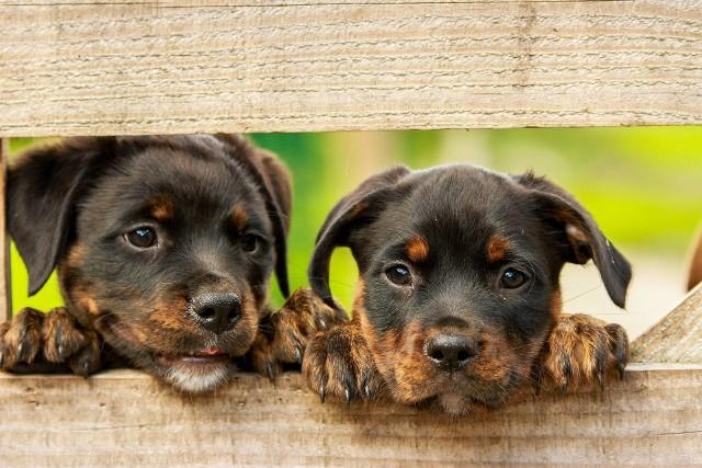 Zdaniem Światowej Organizacji Zdrowia i Światowej Organizacji Zdrowia Zwierząt nie ma obecnie dowodów, iż człowiek może się zarazić koronawirusem od zwierzęcia domowego