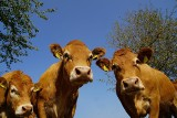 500 plus do krów. Stawki dopłat do zwierząt przyjęte. Będzie nawet więcej - od kiedy?