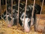 500 plus za dobrostan zwierząt. O szczegółach mówi Ryszard Kamiński, wiceminister rolnictwa [wideo]