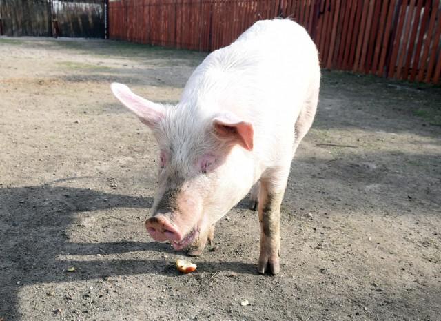 W niebieskiej strefie, z której nie można teraz sprzedawać świń, przeważają drobne gospodarstwa