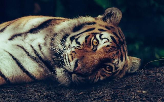 Przedstawiciele zoo zapewniają, że będą wciąż uważnie monitorować tygrysice