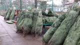 Jodła kaukaska, Frasera lub świerk kłujący, łodzianie zaczynają szukać drzewka na Boże Narodzenie