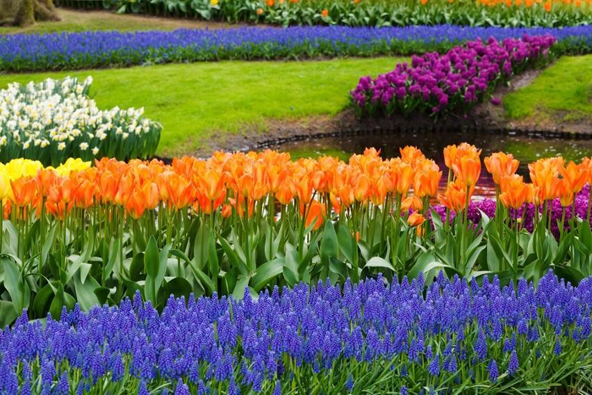 Kwitnące rośliny cebulowe są wspaniałą ozdobą każdego...