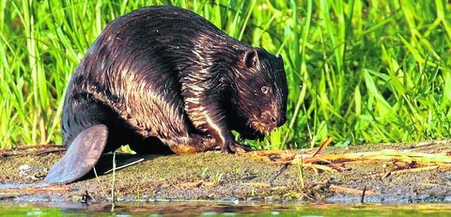 Szacuje się, że w Polsce jest około 100 tysięcy bobrów. To zwierzę czujne i ostrożne.