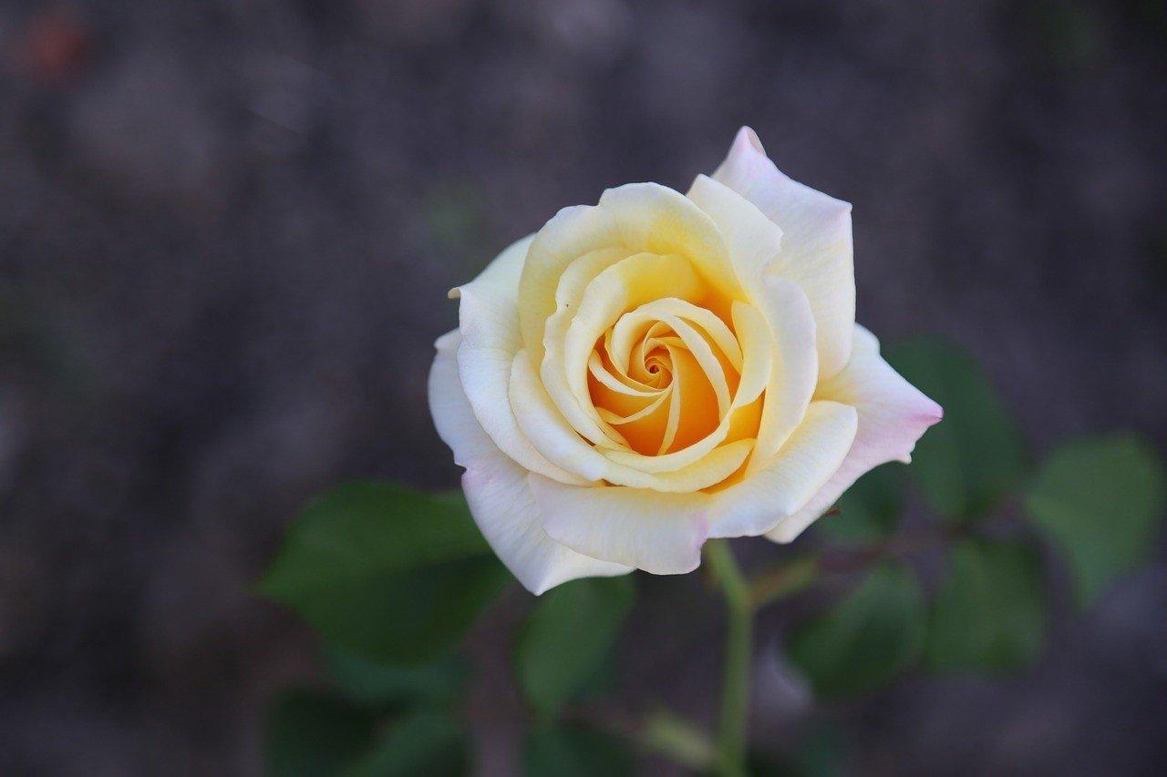 0122de6425233b Biała róża – dla kogo i kiedy warto ją kupić? Co symbolizują białe róże? |  Głos Wielkopolski