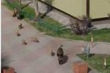 Dziki biegały po brzezińskim osiedlu. Co robić, gdy w mieście spotkamy dzika? ZDJĘCIA