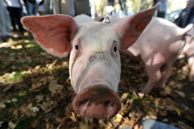 Na wzrost pogłowia trzody wpłynął  import zwierząt żywych