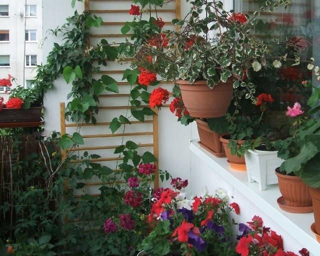 BalkonWłaścicielka tego balkonu zamieniła go w mały kwiatowy ogródek.