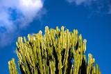 Wilczomlecze – kwiaty doniczkowe łatwe w uprawie. Poznaj ich gatunki i wymagania
