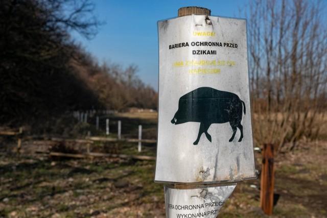 Rozporządzeniem z 31 marca 2021 roku Wojewoda Kujawsko-Pomorski zarządził odstrzał sanitarny dzików w ramach zwalczania afrykańskiego pomoru świń w Polsce.