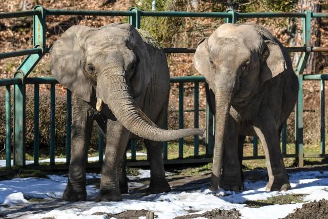 Zwierzęta w gdańskim ZOO wyczuły wiosnę i coraz chętniej zaczęły pokazywać się odwiedzającym ten ogród zoologiczny. Zobaczcie zdjęcia!