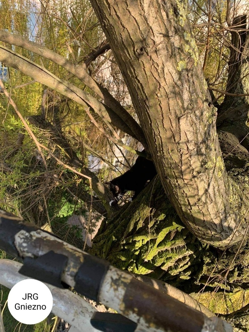 Gniezno. Na wysokim drzewie utknęły kotki. Uratowali je strażacy [FOTO]