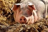 Chiny: zmusili stukilogramową świnię do wykonania skoku na bungee ( Video)