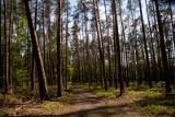 Larwy atakują drzewa w Wielkopolsce. Lasy są poważnie zagrożone