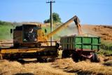 Jakie są ceny pszenicy 2021? Oto stawki w kujawsko-pomorskich skupach