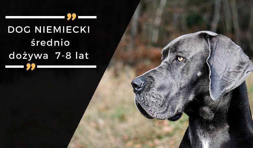Dogi niemieckie to psy przyjazne, mocno przywiązane do...