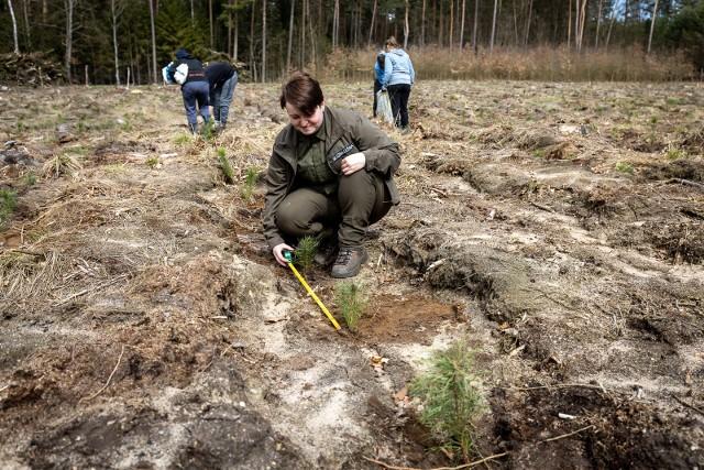Akcja odnawiania lasu w Nadleśnictwie Lutówko